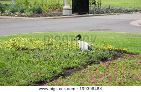 Australian White Ibis walking in the flowerbeds at Hyde Park in Sydney, Australia
