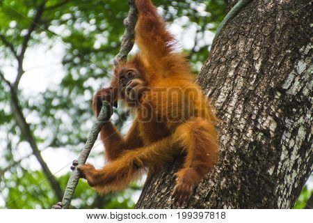 Orangutan Hanging On Tree In Jungle Looking Down