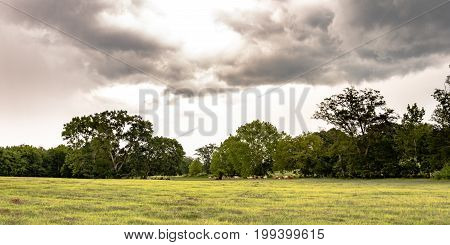 Panoramic view of a southern pasture containing live oaks and grazing cattle with storm clouds