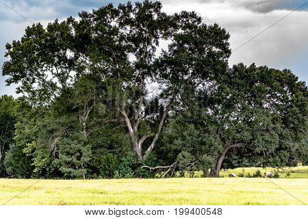 Tall Live Oaks standing in a southern pasture
