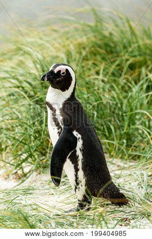 African Penguins (lat. Spheniscus Demersus) at Boulders Beach in Simonstown in South Africa