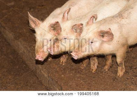 three little pigs on the farm . A photo
