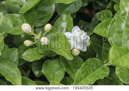 Close Up Of A Jasmine Plant In Hengxian, The Chinese Capital Of Jasmine