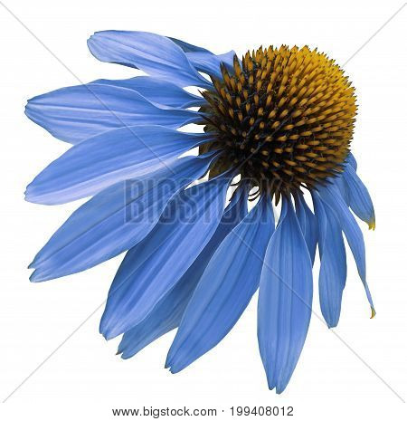 Flower blue Chamomile on white isolated background with clipping path. Daisy blue[yellow for design. Closeup no shadows. Nature.