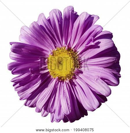 Flower purple Chamomile on white isolated background with clipping path. Daisy violet-yellow with droplets of water for design. Closeup. Nature.