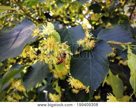 Honey Bee pollinating  and collecting nectar on a Linden tree blossom in summer garden closeup Utah USA