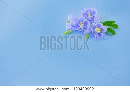 The flowers of Aquilegia on light blue background. Four purple flower on a pure blue background. Suitable for any design, plenty of space for text.