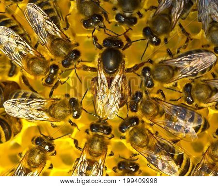 Queen bee is always surrounded by the workers bees - their servant.