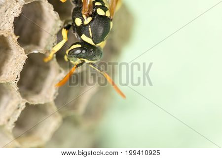 A Wasp Nest with Pupae . A photo