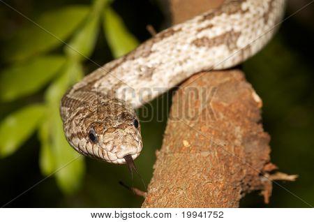 White Oak Rat Snake