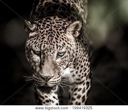 Cats predator Sri Lankan leopard (Panthera pardus kotiya). Wildlife animal.