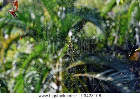 Golden Orbweaver Spider (nephila Plumipes)