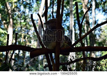 Koala Sleeping On A Tree Branch Eucalyptus