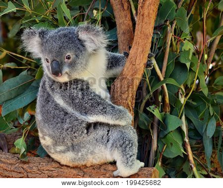 Cute Koala Looking On A Tree Branch Eucalyptus