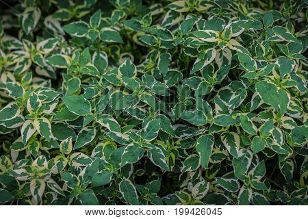 background of leaves green bush close up