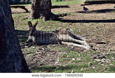 Wild Grey Kangaroo Resting In The Park