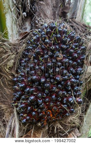 Oil Palm Tree And Its Bunch In The Palm Garden