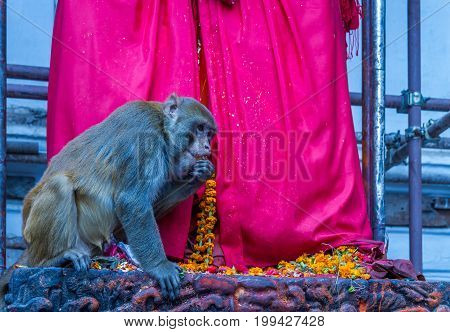 Monkey eating food given to the God at the Temple.