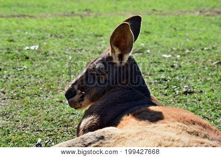 Very Muscular Wild Red Kangaroo Lying On The Grass