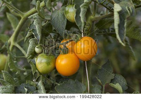 Orange Toamto Branch