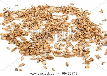 Angelica seed herb