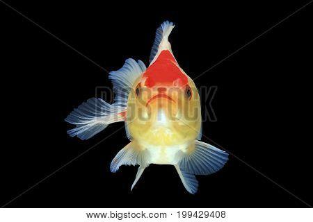 Beautiful goldfish smile isolated on black background