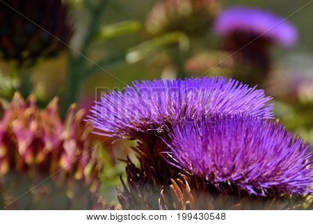 Flowers of wild artichoke in early summer, cynara cardunculus