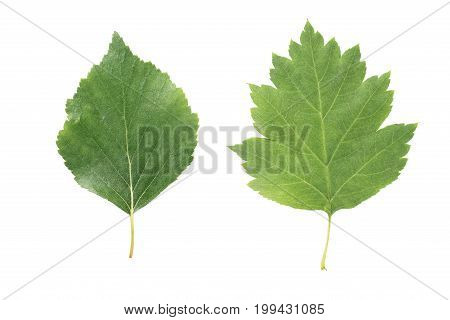 two green leaves from linden and hawthorn trees isolated on white background