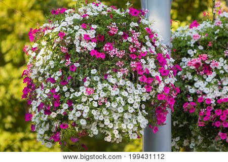Deatil of a large and beautiful hanging basket pots with blooming vibrant pink and white petunia surfinia and geranium flowers