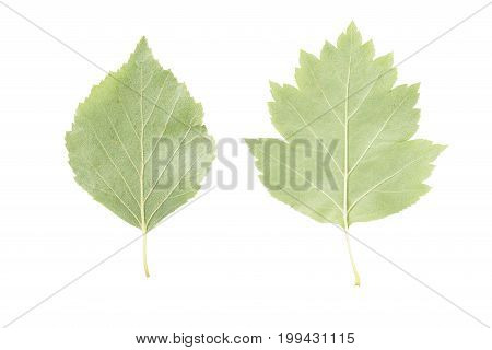 back side of two green leaves from linden and hawthorn trees isolated on white background