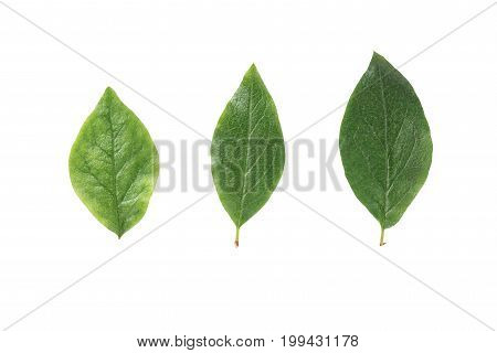 three green leaves from bush isolated on white background