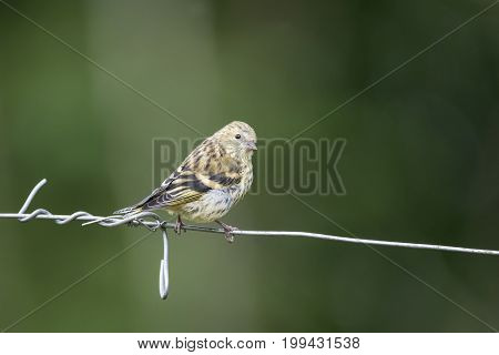 Beautiful Siskin Bird Spinus Spinus On Barb Wire In Forest Landscape Setting