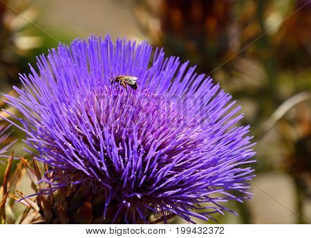 Wild artichoke flower and small wasp inside