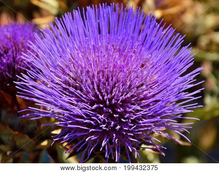 Flower head of wild artichoke, cynara cardunculus