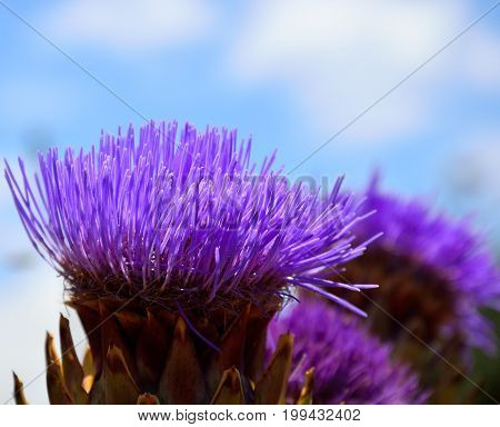 Beautiful flower of wild artichoke in foreground