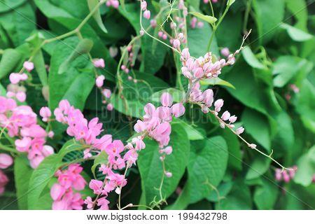 Antigonon leptopus or Coral Vine in the garden