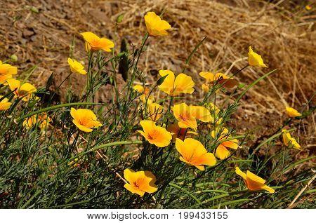 Beautiful wild poppies in full bloom on the prairie, eschscholzia californica