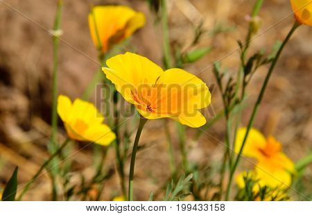 Bright orange poppies on the prairie, eschscholzia californica