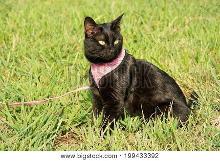 Beautiful black cat in pink harness and leash, in green grass