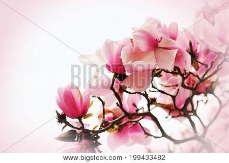 Beautiful magnolia flower on pink background. California