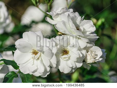 rose flower grade schneewittchen, iceberg, pure white flowers, stamens yellow color, bunch with several flowers in full bloom, sunlight, summer period, close-up