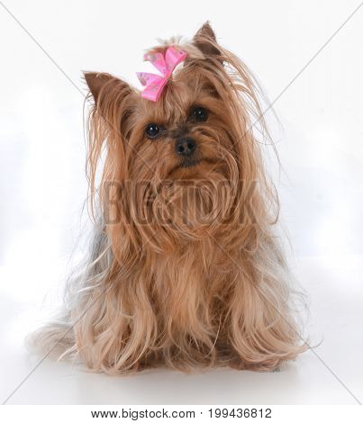 female yorkshire terrier