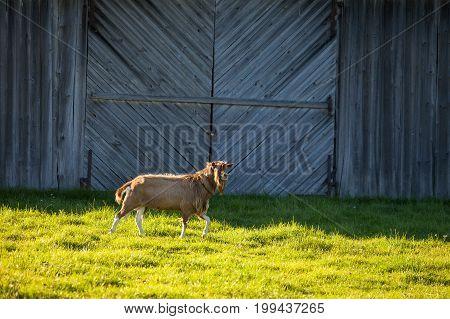 Goat in village yard with wooden barn at the background. Rural scene on Saaremaa island, Estonia