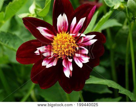 Mignon Dahlia Flower Flower Head Plant Nature Summer Garden Park