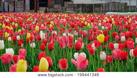 Tulip Flower Field At Sunny Day In Tohoku, Japan