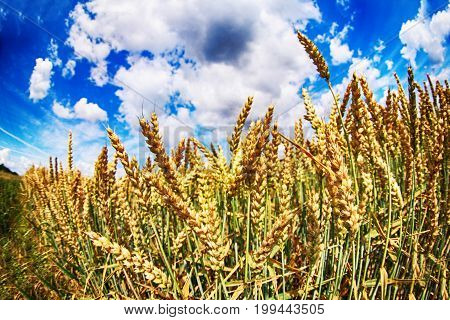 Corn And Blue Sky