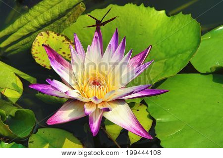 Beautiful white with purple waterlily flower and leaves blooming in the pond in summer,closeup