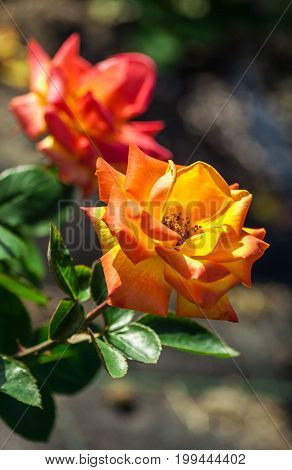 rose flower grade red gold, two-color, terry flowers with red on the edges and golden to the center of the petals,  two flowers grow in the garden in summer, sunlight, nature, natural, vertical shot,