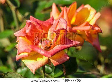 rose flower grade red gold, two-color, terry flowers with red on the edges and golden to the center of the petals, two flowers grow in the garden in summer, sunlight, nature, natural,