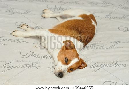 Jack Russel relaxing on a grey background